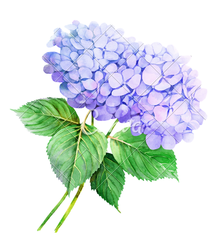 canva-two-violet-hydrangeas-watercolor-flower-illustration-MAB8C133wG4
